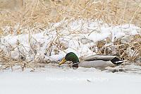00729-02217 Mallard (Anas platyrhynchos) male in wetland in winter, Marion Co. IL