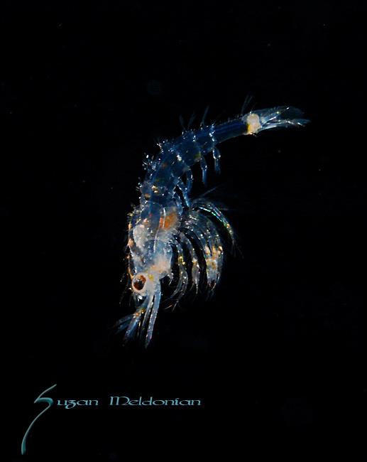 Plankton; larval fish; pelagic larval marine life, SE Florida, Gulf Stream Current, Black water dive, Atlantic Ocean