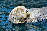sea otter, Enhydra lutris kenyoni, sleeping, Vancouver aquarium, Vancouver Island, British Columbia, Canada