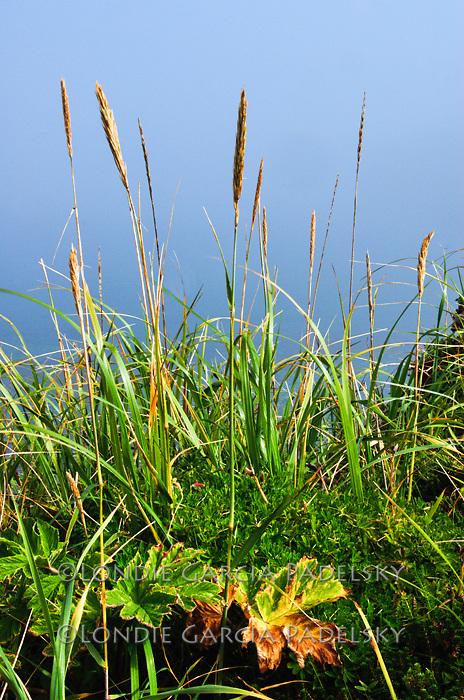 Shore grasses on Shuyak Island, Shuyak Island State Park, an island in the northern part of Kodiak Archipelago, Alaska