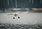 A tundra swan lands during a snow shower on Tilghman Island.