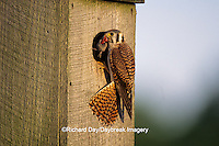 00818-01016 American Kestrel (Falco sparverius) female with mouse at nest box, Marion Co. IL