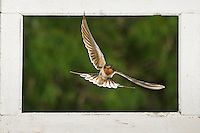 Barn Swallow (Hirundo rustica), adult flying through window, Dinero, Lake Corpus Christi, South Texas, USA