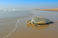 olive ridley sea turtle, Lepidochelys olivacea, vulnerable species, returning into the sea after laying eggs, Padampeta Beach, Rushikulya rookery, Odisha, India, Bay of Bengal, Indian Ocean