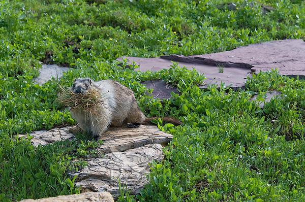 Hoary Marmot (Marmota caligata) carrying grass to line its den, Glacier National Park, Montana.  Summer.