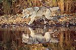 Gray wolf runs through fall leaf litter at edge of pond, Minnesota, USA