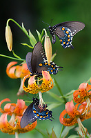 Michael McCollum<br /> 8/1/17<br /> Three 'Astyanax' Red-spotted Purple Limenitis arthemis astyanax, on a <br /> Turk's Cap Lily near the<br /> Great Smoky Mountain Parkway, North Carolina.