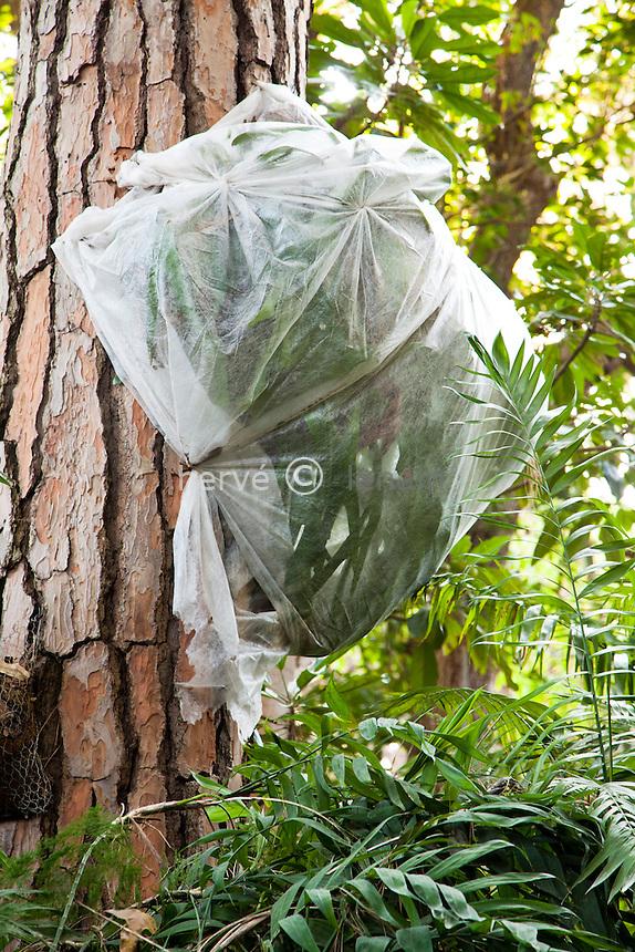 """France, Alpes-Maritimes (06), Saint-Jean-Cap-Ferrat, le jardin botanique des Cèdres:.dans la """"jungle"""", protection hivernal d'un Platycerium sur un  tronc de pin // France, Alpes-Maritimes, Saint-Jean-Cap-Ferrat, the botanical garden les Cèdres (Cedars): In the """"jungle"""", the protection wintry of Platycerium on a trunk of pine"""