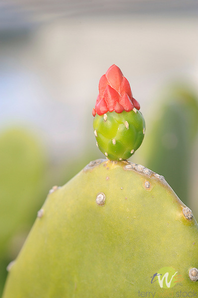 Opuntia decumbens cactus with red flower bud.