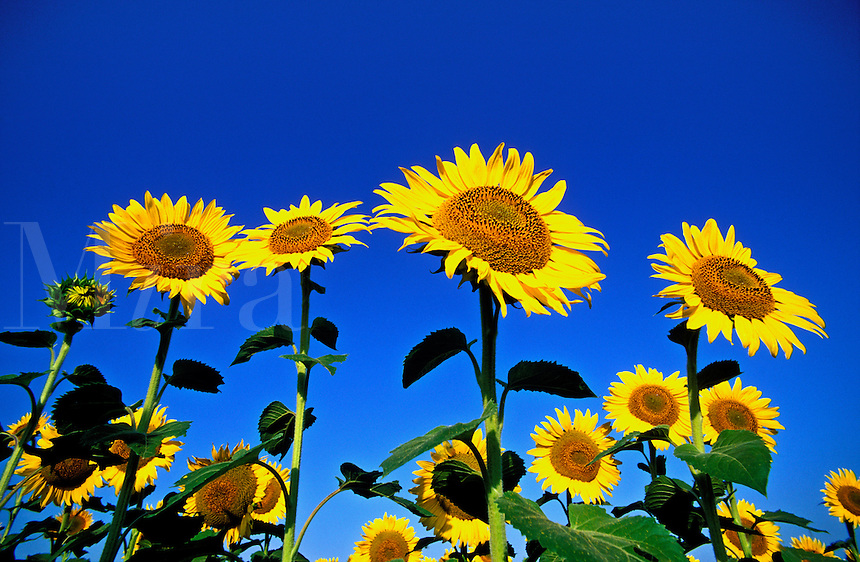 Canada, Manitoba, Ste. Anne. Sunflowers in bloom against blue sky