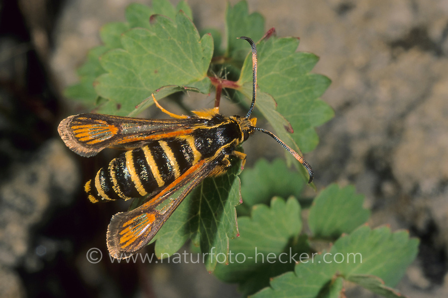 Hornklee-Glasflügler, Hornkleeglasflügler, Trockenkräuterrasen-Glasflügler, Schlupfwespen-Glasflügler, Bembecia ichneumoniformis, Sesia ichneumoniformes, Dipsosphecia ichneumoniformis, six-belted clearwing, Glasflügler, Sesiidae, clearwings