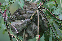 Three-toed Sloth; Bradypus variegatus; mother and child sleep<br /> in Cecropia tree; Panama, Canopy Tower Lodge