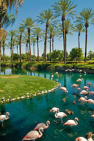 Pink Flamingo's standing in water in a pond, next to a golf course