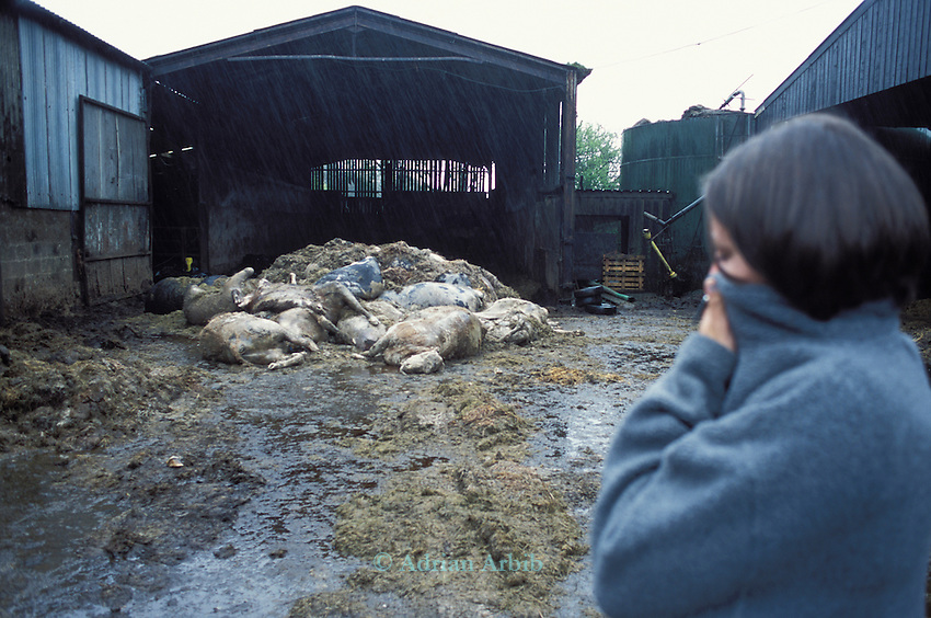 21 day old carcases of Robert Hext's dairy herd in Chulmleigh, Devon.  His herd was killed on a  contiguous cull however it  was later found out that his herd was neither contiguous and that the farm that was supposed to be infected with foot and mouth  infact tested negative..