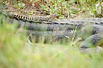 Columbia Ranch, Brazoria County, Damon, Texas; a baby American Alligator (Alligator mississippiensis) , roughly one year old, sits on the tail of it's mother while sunning itself on the bank near the water's edge