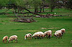 Sheep, Ovis aries, ruminant mammals, livestock, artiodactyla, even-toe ungulates, quadrupedal, fleece, lamb, mutton, wool, pelts, dairy animals, shearing, mouflon, agricultural, mouflon, sheep husbandry, flocking, sheepdog trial, pasture, flock,