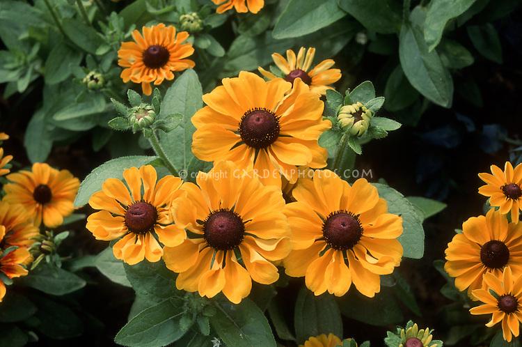 Rudbeckia hirta 'Toto' , Black eyed Susan native flower. GR8539