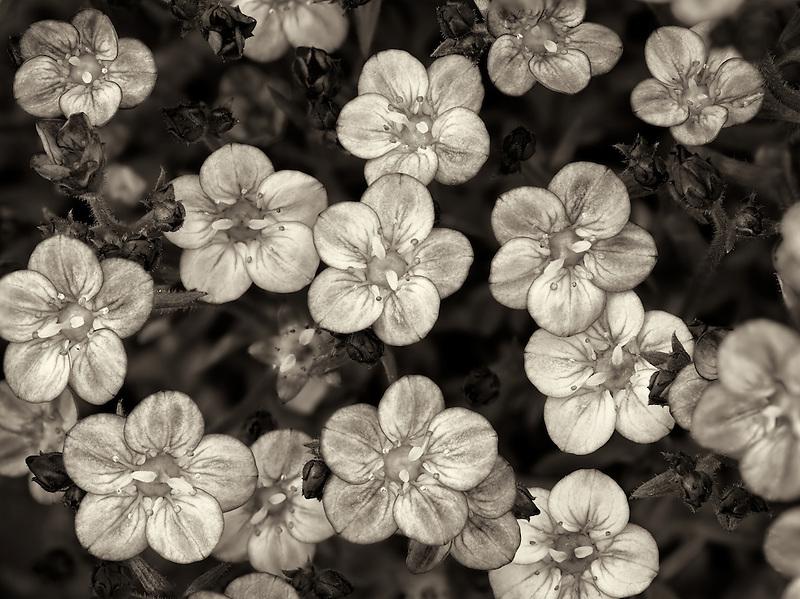 Close up of Touran Neon Rose Saxifrage