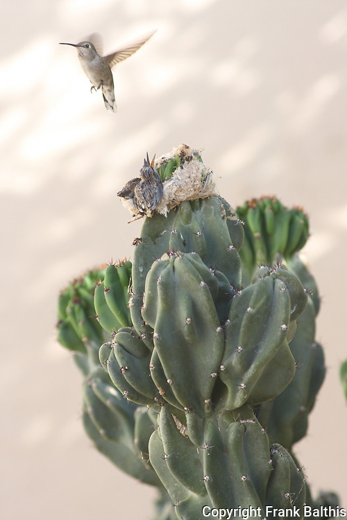 Costa's humminbird with chicks in nest on cactus.  Rancho Mirage, CA