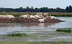 Foto: VidiPhoto<br /> <br /> BRIENNE &ndash; Een kudde Charolaise vleeskoeien geniet dinsdag van de rust op een landtong in de Sa&oacute;ne-et-Loire in de Bourgogne, in de buurt van het Franse dorp Brienne (Bourgogne). Franse rundveehouders lijken nog niet echt te profiteren van de opheffing van het importembargo door de VS van Frans rundvlees. Daar kwam begin dit jaar -na een embargo van 19 jaar- een eind aan. Oorzaak is de toegenomen productie, waardoor de vleesprijzen blijven dalen. De vleesconsumptie neemt wereldwijd toe, maar niet in Europa. Die blijft naar verwachting tot zeker 2020 stabiel met 67,6 kilo (10,2 kg rundvlees) per persoon per jaar. In Frankrijk leven bijna 19 miljoen koeien (25 soorten), waarvan 3,5 miljoen vleesrunderen, veelal op kleinschalige bedrijven.