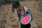 Black Hmong girl planting maize, Sapa, Vietnam.