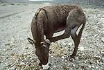 Flop-ear jackass scratches his ear in the California Desert