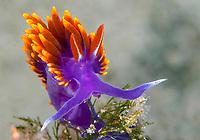 Spanish shawl nudibranch, Flabellinopsis iodinea, Mexico, Sea of Cortez, Gulf of California, Pacific Ocean