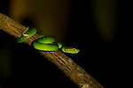 Wagler's Pit Viper (Tropidolaemus wagleri) in tree, Sepilok Forest Reserve, Sabah, Borneo, Malaysia