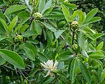 Fruit of the Magnolia Virginiana at the Arnold Arboretum in the Jamaica Plain neighborhood, Boston, Massachusetts, USA
