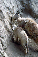Mountain Goat Nanny and Kid (Oreamnos americanus), aka Rocky Mountain Goats, licking Salt at Mineral Lick, Yoho National Park, BC, British Columbia, Canada
