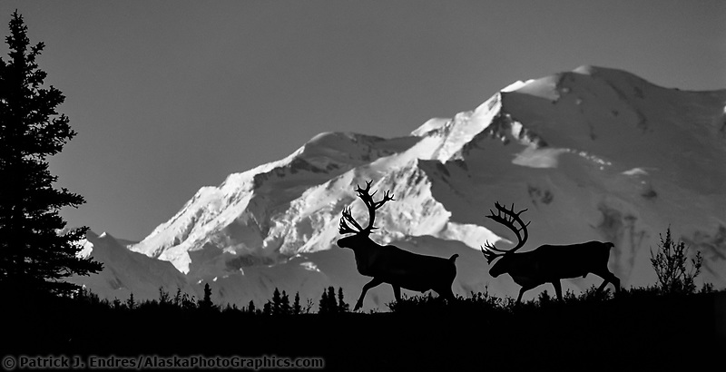Barren ground caribou prance in front of Mount Denali, Denali National Park, Alaska.