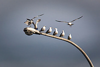 Ring-billed gulls congregate on a parking lot lampost near San Francisco Bay