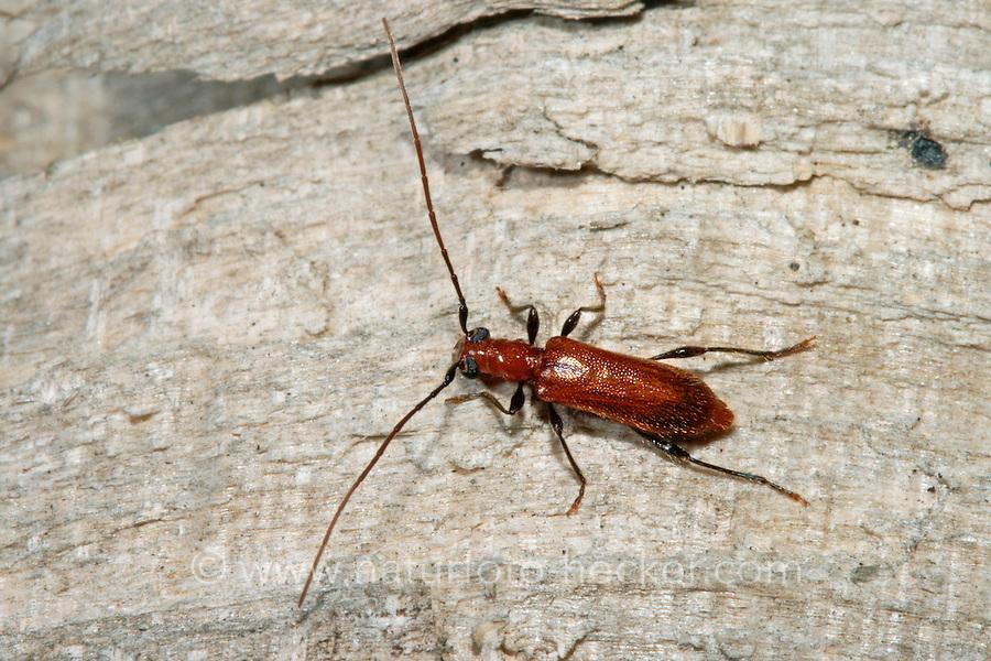 Gemeiner Reisigbock, Flachdeckenbock, Obrium brunneum, Brown longhorn beetle