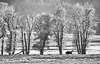 A lone bison walks along the Lamar River.