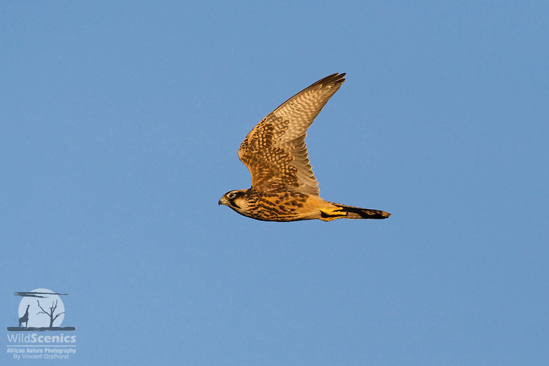 Immature Lanner falcon in flight.