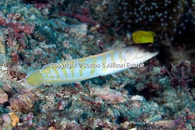 Opistognathus randalli, Yellowbarred jawfish, Raja Ampat, Indonesia