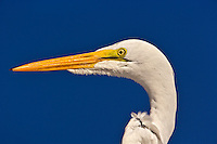 Great Egret in portrait, Casmerodius albus, Sanibel Island, Florida