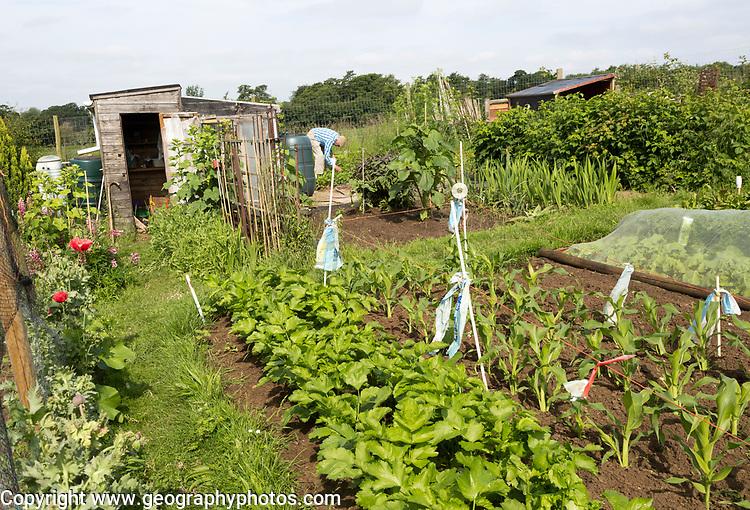 Vegetable growing summer allotment gardens, Shottisham, Suffolk, England, Uk
