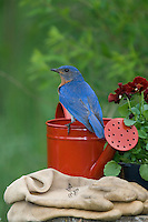 Male eastern bluebird perched on a red watering can