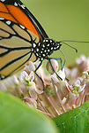 Monarch butterfly, Lycoming County, PA