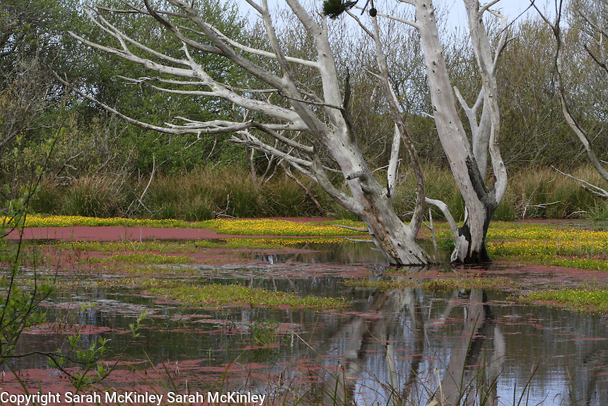 A barren, pale gray tree rises from the waters of a bog on Samoa near Eureka in Humboldt County in Northern California.