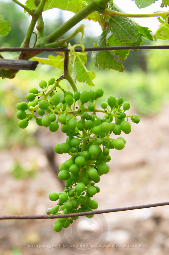 Unripe grapes. Syrah. Chateau de Jau, Cases de Pene, Roussillon, France