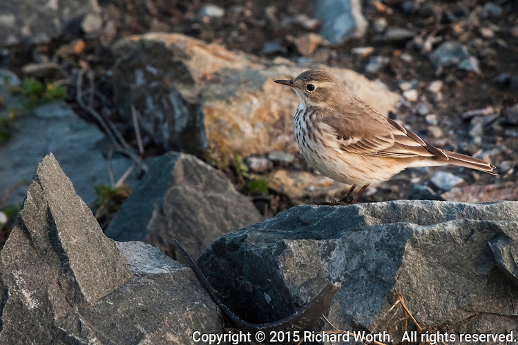 Small and fast, this American pipit stopped long enough to have its portrait taken on the rocks along San Francisco Bay's eastern shores.