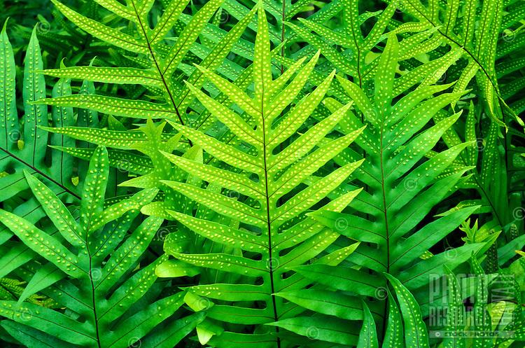 Lauae ferns (Microsorium scolopendria)