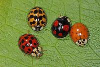 Asiatischer Marienkäfer, Harlekin, Farbvarianten, Harmonia axyridis, Asian lady beetle, Harlequin lady beetle