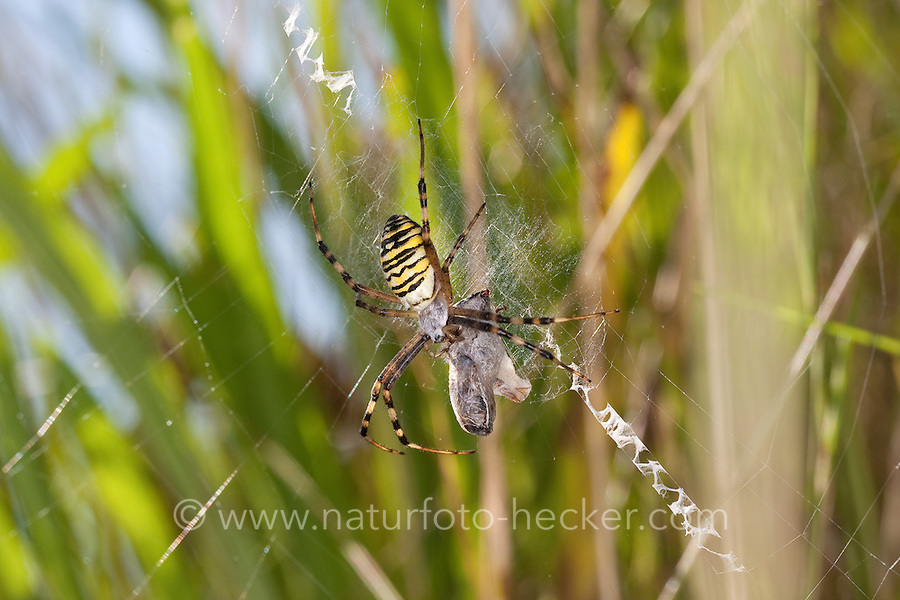 Wespenspinne, Zebraspinne, Argiope bruennichi, Spinne in ihrem Netz mit Beute und mit zickzack-förmigen Stabiliment, black-and-yellow argiope, black-and-yellow garden spider