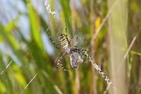 Wespenspinne, Zebraspinne, Argiope bruennichi, Spinne in ihrem Netz mit Beute und mit zickzack-förmigen Stabiliment, black-and-yellow argiope, black-and-yellow garden spider