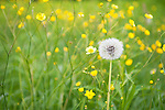 Wild meadow field with Common Dandelion Seed Head, dandelion, Taraxacum officinale, Lentiira, Finland