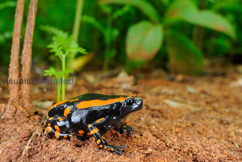 Banded Rubber Frog (Phrynomantis bifasciatus), Tanzania
