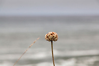 A single stalk of coast buckwheat with the soft-focus ocean as background.